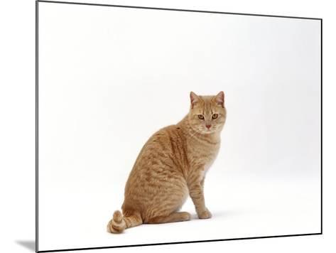 Domestic Cat, Cream British Shorthair Male Sitting-Jane Burton-Mounted Photographic Print