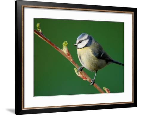 Blue Tit on Branch, Cornwall, UK-Ross Hoddinott-Framed Art Print