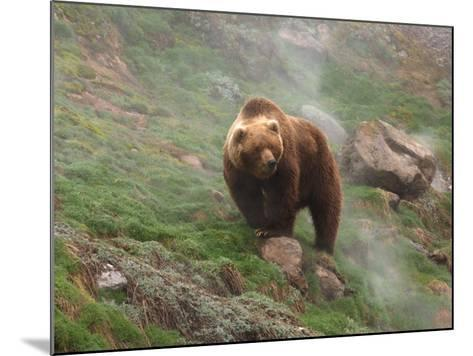 Brown Bear on Grassy Slope, Valley of the Geysers, Kronotsky Zapovednik, Kamchatka, Far East Russia-Igor Shpilenok-Mounted Photographic Print
