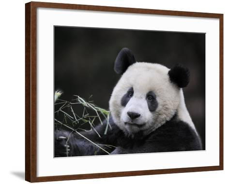 Male Giant Panda Wolong Nature Reserve, China-Eric Baccega-Framed Art Print