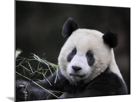 Male Giant Panda Wolong Nature Reserve, China-Eric Baccega-Mounted Photographic Print