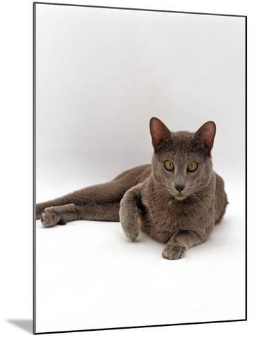 Domestic Cat, One-Year Blue Siamese Burmese Cross-Jane Burton-Mounted Photographic Print
