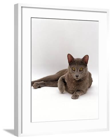 Domestic Cat, One-Year Blue Siamese Burmese Cross-Jane Burton-Framed Art Print