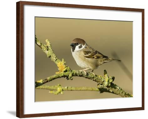 Tree Sparrow Perched on Lichen Covered Twig, Lincolnshire, England, UK-Andy Sands-Framed Art Print