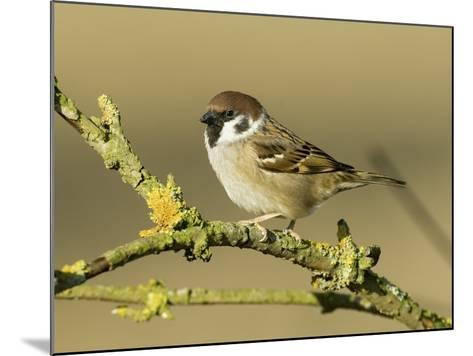 Tree Sparrow Perched on Lichen Covered Twig, Lincolnshire, England, UK-Andy Sands-Mounted Photographic Print