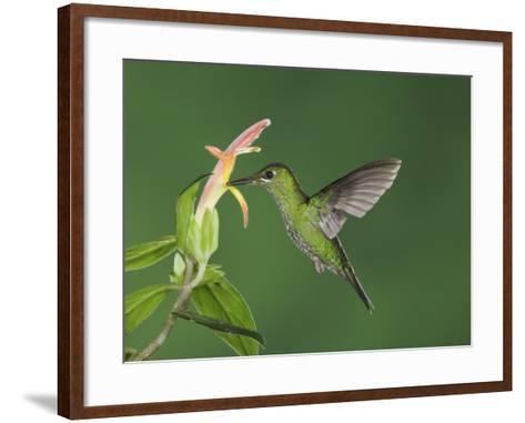 "Green-Crowned Brilliant Female in Flight Feeding on ""Snakeface"" Flower, Central Valley, Costa Rica-Rolf Nussbaumer-Framed Art Print"