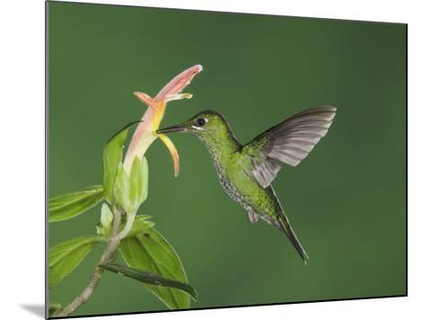 """Green-Crowned Brilliant Female in Flight Feeding on """"Snakeface"""" Flower, Central Valley, Costa Rica-Rolf Nussbaumer-Mounted Photographic Print"""