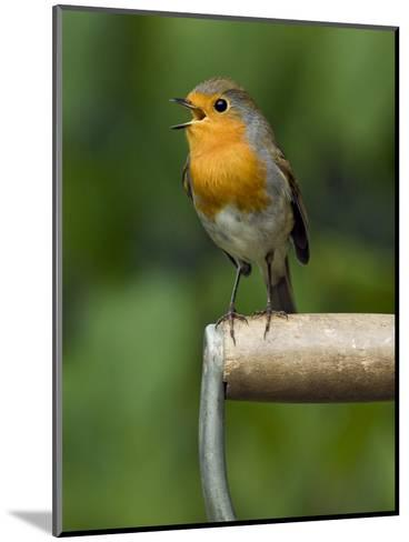Robin Sitting on a Garden Fork Handle Singing, Hertfordshire, England, UK-Andy Sands-Mounted Photographic Print