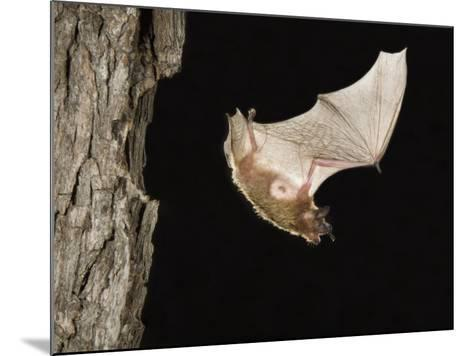 Evening Bat Flying at Night from Nest Hole in Tree, Rio Grande Valley, Texas, USA-Rolf Nussbaumer-Mounted Photographic Print