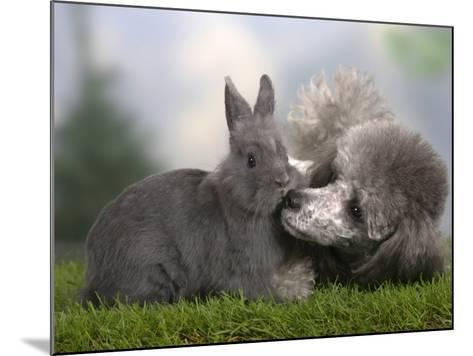Silver Miniature Poodle Sniffing a Blue Dwarf Rabbit-Petra Wegner-Mounted Photographic Print