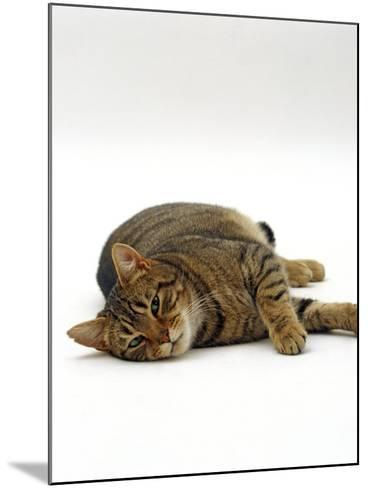 Domestic Cat, Striped Tabby Male Lying on Side-Jane Burton-Mounted Photographic Print