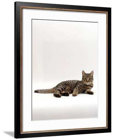 Domestic Cat, Tabby Chinchilla Burmese Cross-Jane Burton-Framed Art Print