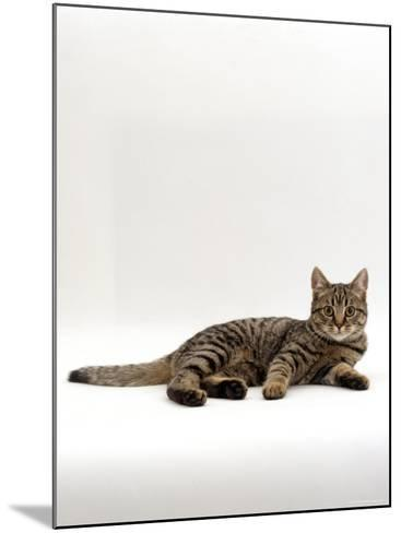 Domestic Cat, Tabby Chinchilla Burmese Cross-Jane Burton-Mounted Photographic Print
