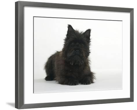 Black Cairn Terrier Lying Down with Head Up-Petra Wegner-Framed Art Print