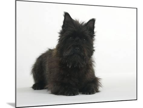 Black Cairn Terrier Lying Down with Head Up-Petra Wegner-Mounted Photographic Print