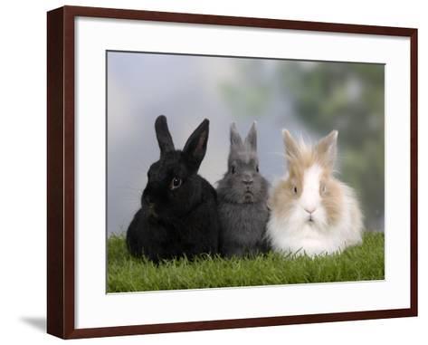 Two Dwarf Rabbits and a Lion-Maned Dwarf Rabbit-Petra Wegner-Framed Art Print