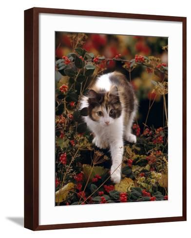Domestic Cat, Young Tortoiseshell-And-White Among Cotoneaster Berries and Ground Elder Seedheads-Jane Burton-Framed Art Print