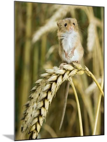 Harvest Mouse Standing Up on Corn, UK-Andy Sands-Mounted Photographic Print