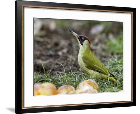 Green Woodpecker Male Alert Posture Among Apples on Ground, Hertfordshire, UK, January-Andy Sands-Framed Art Print