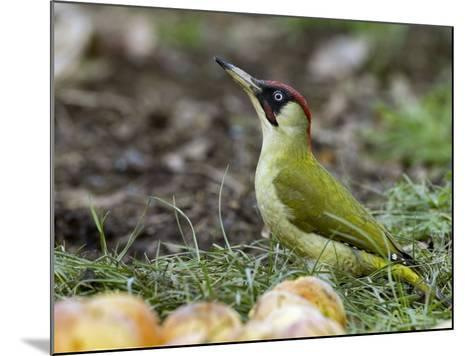 Green Woodpecker Male Alert Posture Among Apples on Ground, Hertfordshire, UK, January-Andy Sands-Mounted Photographic Print