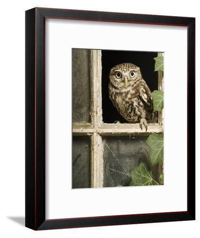 Little Owl in Window of Derelict Building, UK, January-Andy Sands-Framed Art Print