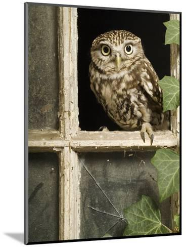 Little Owl in Window of Derelict Building, UK, January-Andy Sands-Mounted Photographic Print