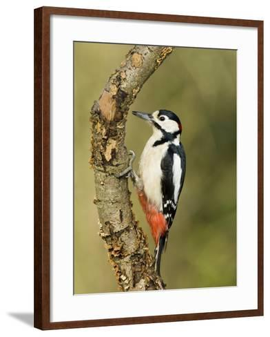 Great Spotted Woodpecker Male on Branch, Hertfordshire, UK, England, February-Andy Sands-Framed Art Print