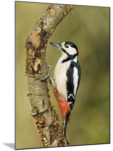 Great Spotted Woodpecker Male on Branch, Hertfordshire, UK, England, February-Andy Sands-Mounted Photographic Print