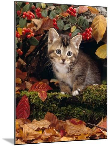 Domestic Cat, Tabby Kitten Among Autumn Leaves and Cottoneaster Berries-Jane Burton-Mounted Photographic Print