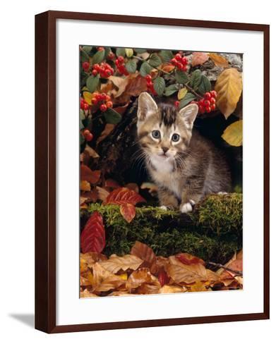 Domestic Cat, Tabby Kitten Among Autumn Leaves and Cottoneaster Berries-Jane Burton-Framed Art Print