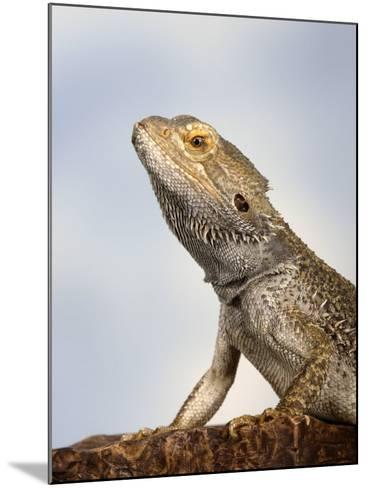 Inland Bearded Dragon Profile, Originally from Australia-Petra Wegner-Mounted Photographic Print