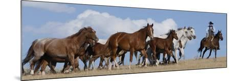 Cowboy Herding Quarter Horse Mares and Foals, Flitner Ranch, Shell, Wyoming, USA-Carol Walker-Mounted Photographic Print