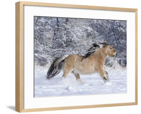 Norwegian Fjord Mare Running in Snow, Berthoud, Colorado, USA-Carol Walker-Framed Art Print