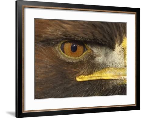 Golden Eagle Adult Portrait, Close up of Eye, Cairngorms National Park, Scotland, UK-Pete Cairns-Framed Art Print