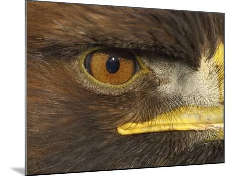 Golden Eagle Adult Portrait, Close up of Eye, Cairngorms National Park, Scotland, UK-Pete Cairns-Mounted Photographic Print
