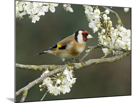 Goldfinch Perched Amongst Blackthorn Blossom, Hertfordshire, England, UK-Andy Sands-Mounted Photographic Print