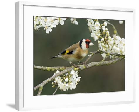 Goldfinch Perched Amongst Blackthorn Blossom, Hertfordshire, England, UK-Andy Sands-Framed Art Print