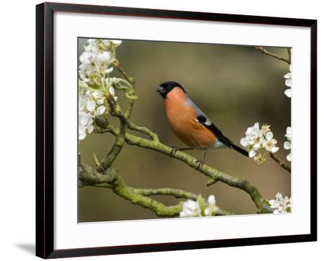 Male Bullfinch Feeding Amongst Blossom, Buckinghamshire, England-Andy Sands-Framed Art Print