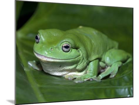 Green Tree Frog (Litoria Caerulea) on Leaf, Northern Territory, Australia-Steven David Miller-Mounted Photographic Print
