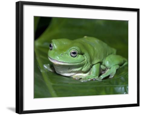 Green Tree Frog (Litoria Caerulea) on Leaf, Northern Territory, Australia-Steven David Miller-Framed Art Print
