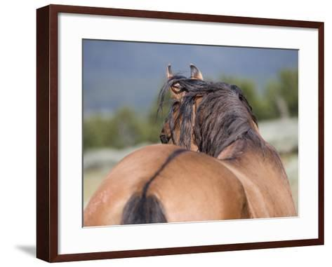 Wild Horse, Rear View of Dun Stallion, Pryor Mountains, Montana, USA-Carol Walker-Framed Art Print