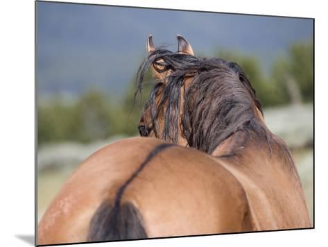 Wild Horse, Rear View of Dun Stallion, Pryor Mountains, Montana, USA-Carol Walker-Mounted Photographic Print