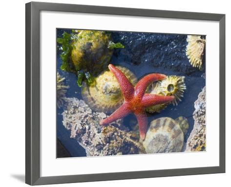 Blood Star, with Limpets and Barnacles Exposed at Low Tide, Tongue Point, Washington, USA-Georgette Douwma-Framed Art Print