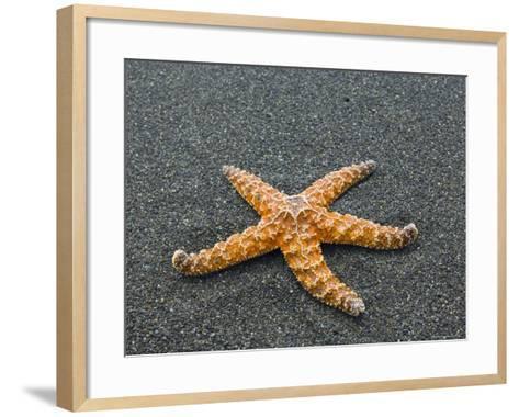 Ochre Seastar, Exposed on Beach at Low Tide, Olympic National Park, Washington, USA-Georgette Douwma-Framed Art Print