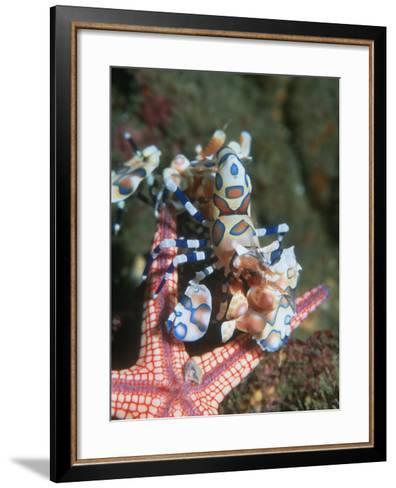 Harlequin Shrimp, Starfish Prey, Upside Down to Prevent It from Escaping, Andaman Sea, Thailand-Georgette Douwma-Framed Art Print