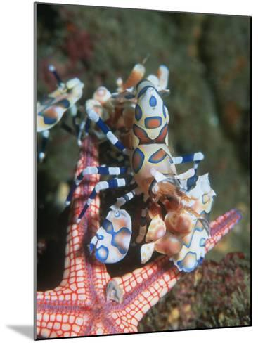 Harlequin Shrimp, Starfish Prey, Upside Down to Prevent It from Escaping, Andaman Sea, Thailand-Georgette Douwma-Mounted Photographic Print
