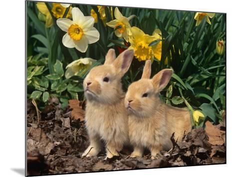 Two Young Palamino Domestic Rabbits, USA-Lynn M^ Stone-Mounted Photographic Print