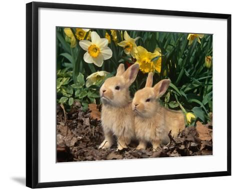 Two Young Palamino Domestic Rabbits, USA-Lynn M^ Stone-Framed Art Print
