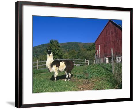Domestic Llama, on Farm, Vermont, USA-Lynn M^ Stone-Framed Art Print