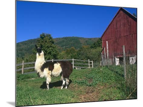 Domestic Llama, on Farm, Vermont, USA-Lynn M^ Stone-Mounted Photographic Print